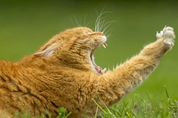 猫,打哈欠,爪子,potyagushki,红猫,红,打哈欠