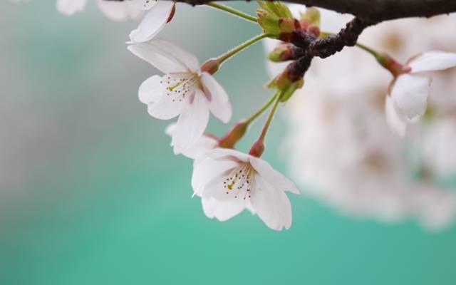 鲜花,宏,枝,樱,白,颜色,小枝,花瓣,蓝色,开花,樱桃,春天