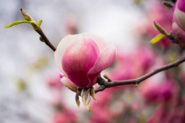 浅粉红色的玉兰高清壁纸摄影