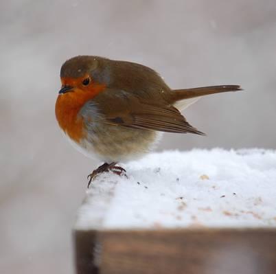 棕色和红色的鸟,知更鸟高清壁纸