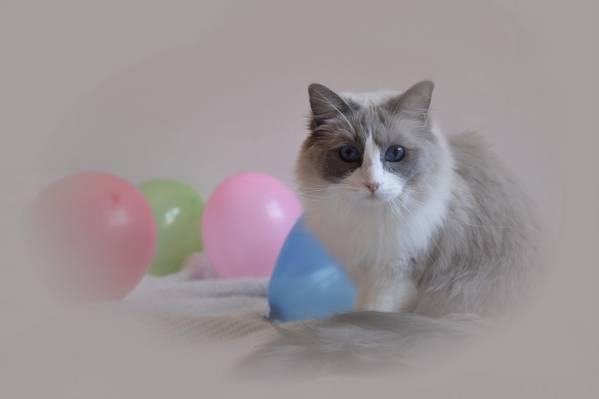 猫,看,球