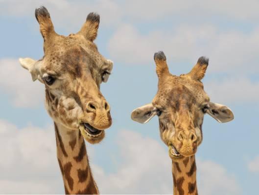 关闭两个长颈鹿高清壁纸的摄影