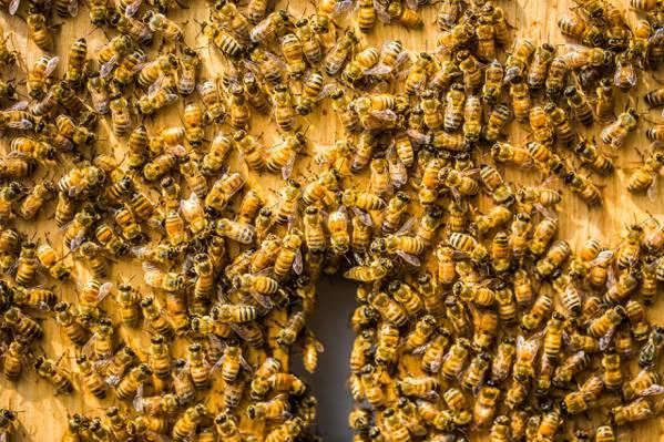 蜜蜂,背景,蜂巢