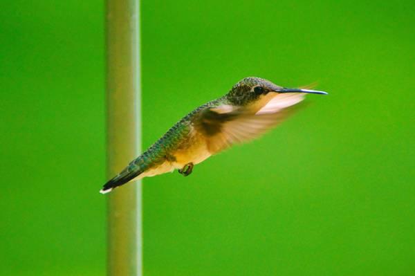 绿色和棕色哼唱着鸟在特写镜头摄影高清壁纸