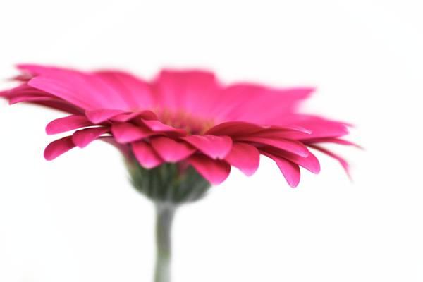 粉红色的非洲菊花卉高清壁纸
