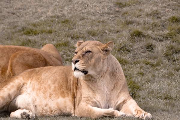 棕色狮王,母狮高清壁纸