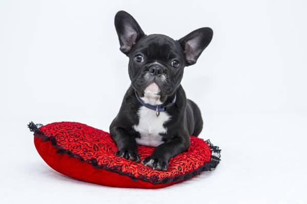 黑色和白色法国斗牛犬躺在红色的枕头高清壁纸