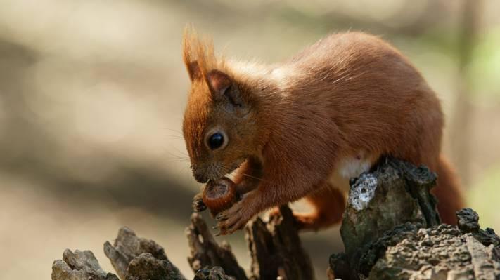 在白天的高清壁纸吃坚果的棕色松鼠的特写照片