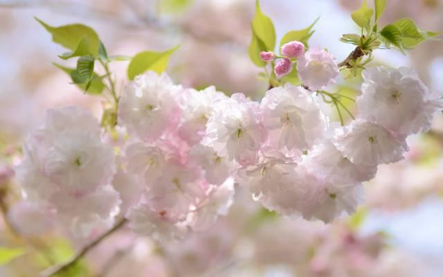 樱桃,分支,春天,樱花