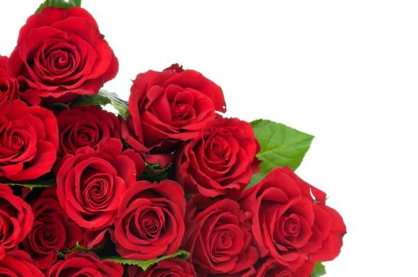鲜花,花,芽,叶,叶,红玫瑰,芽,红玫瑰