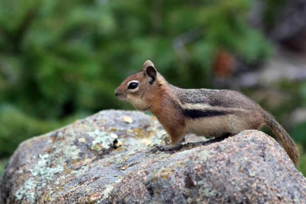 棕色的松鼠,棕色的石头,埃斯蒂斯公园,科罗拉多州高清壁纸