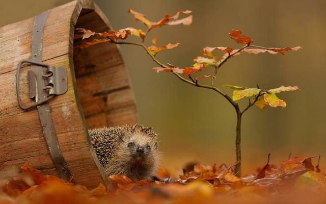 Leaves.autumn,分支,刺猬,秋天,性质