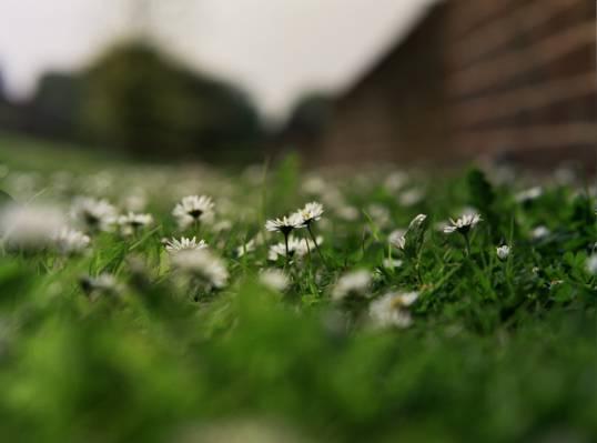 鲜花,草,洋甘菊,花瓣,白色