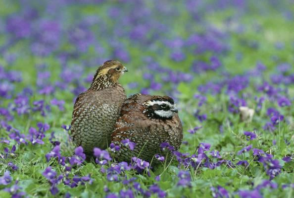 两个灰色的小鸟,紫色的薰衣草花场高清壁纸