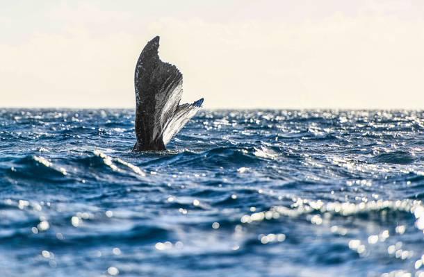 水上灰尾巴摄影,鲸鱼高清壁纸
