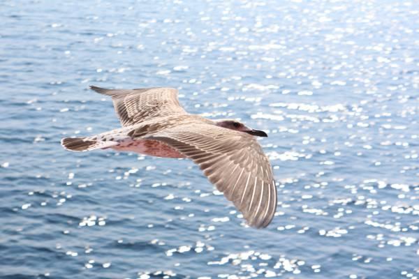 灰色和白色的鸟飞行蓝色海洋高清壁纸