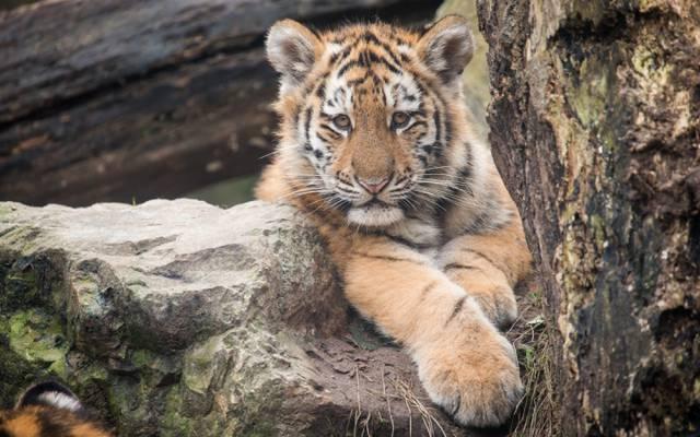 猫,看,老虎,老虎,阿穆尔,小猫,石头